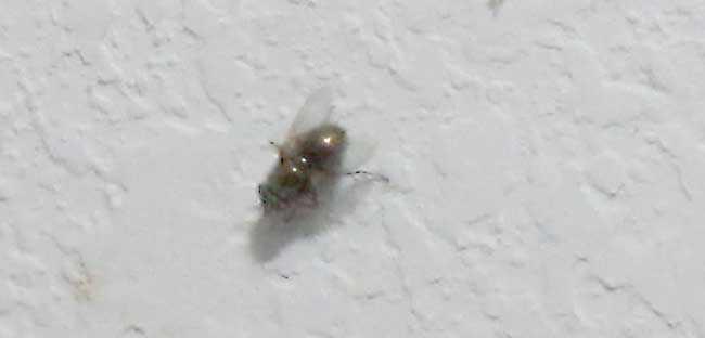 Shredder fly